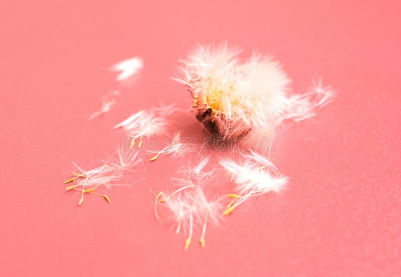 La flor del diente de león con cierre de la bola de las semillas para arriba en rosa coloreó el backgr fotos de archivo