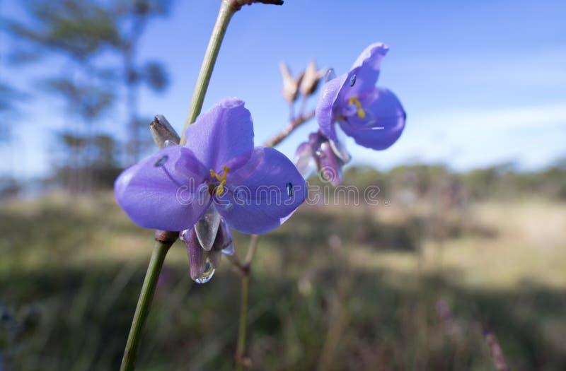 La flor del giganteum de Murdannia en invierno y Commelinaceae es su familia imágenes de archivo libres de regalías