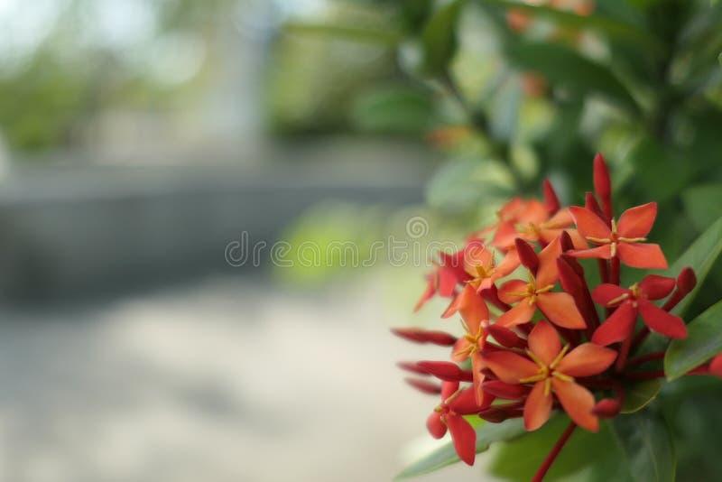La flor del ixora imagen de archivo libre de regalías