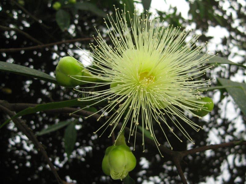 La flor del jambos de la sizigia fotos de archivo