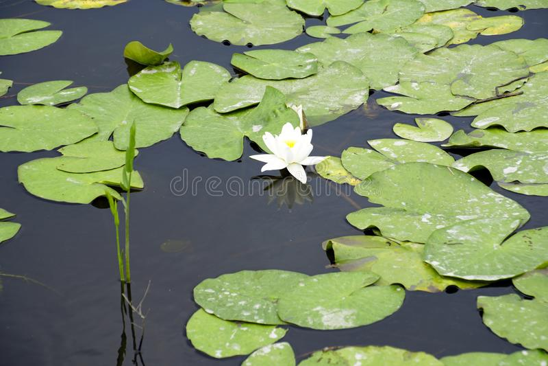 La flor del kubysh blanco en el viejo pripyat Reflexión en agua Agua lilly foto de archivo