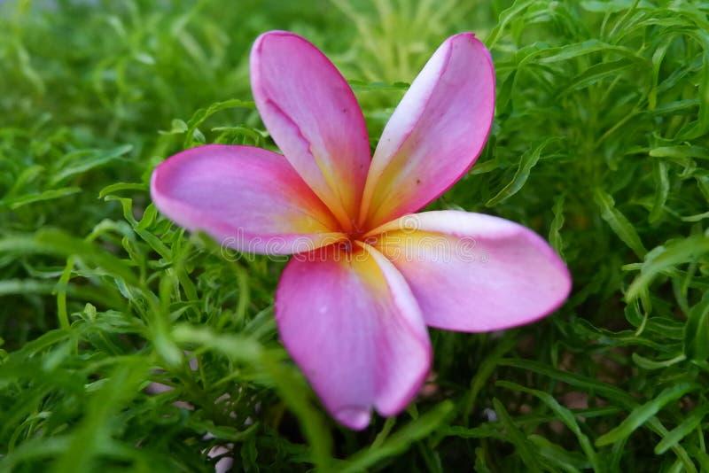 La flor del lilium imagenes de archivo