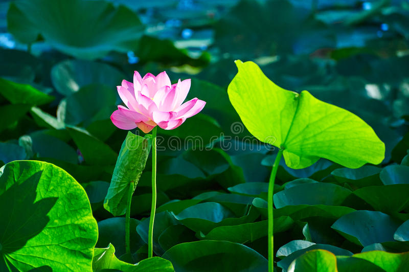 La flor del lirio de agua y una hoja foto de archivo libre de regalías