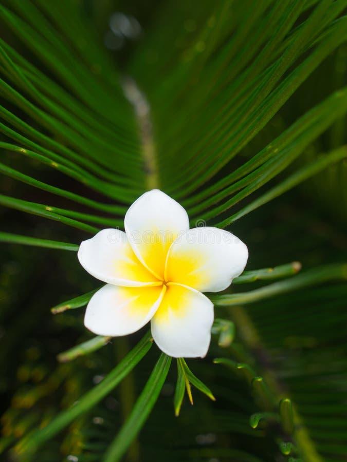 La flor del Plumeria pegada en la hoja verde imagen de archivo