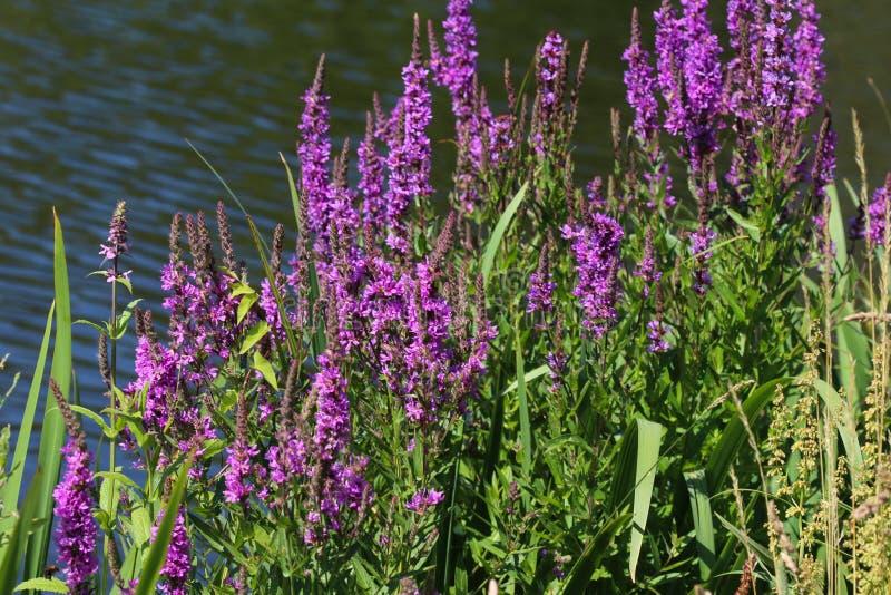 La flor del salicaria del Lythrum que florece, los nombres comunes es lisimaquia púrpura, lisimaquia claveteada, o lythrum púrpur foto de archivo libre de regalías