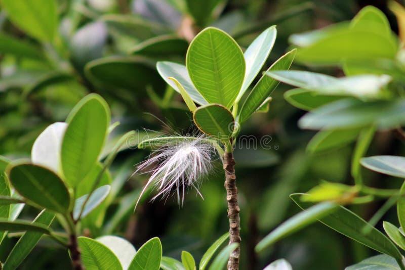 La flor del viento del diente de león del wildflower del Windflower se pegó en planta imagen de archivo