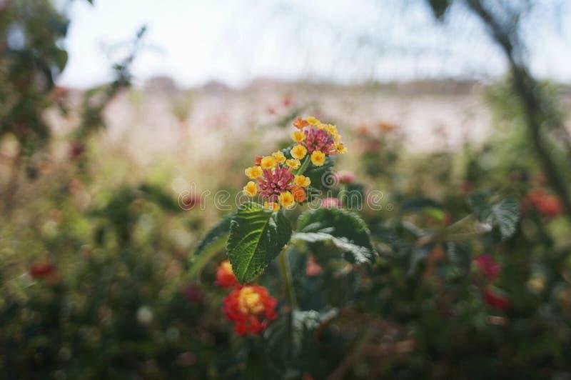 La flor en biskra imagen de archivo libre de regalías