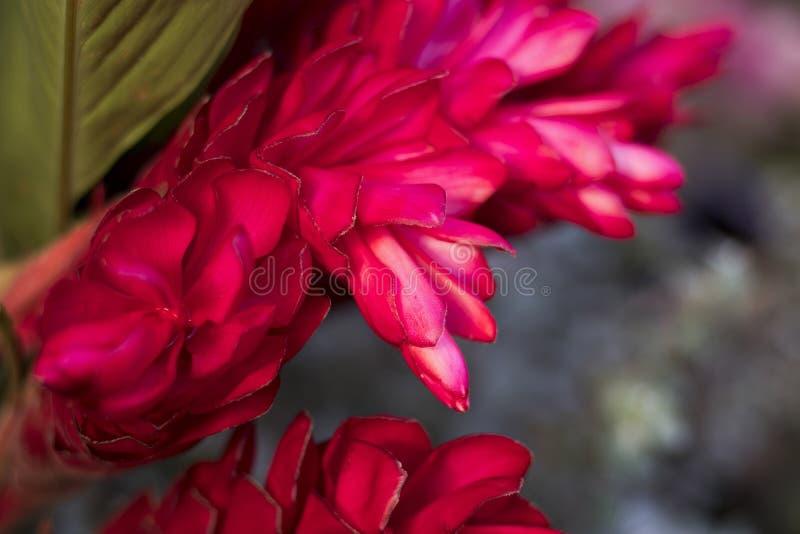 La flor en el jardín, plantas de florecimiento de Vriesea del vriesea de tropical fotos de archivo