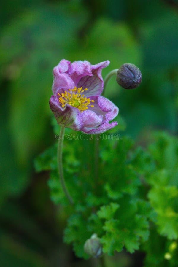 La flor floreciente de un japonica de la anémona de la anémona foto de archivo