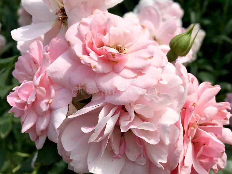 La flor floreciente subió con las hojas verdes foto de archivo