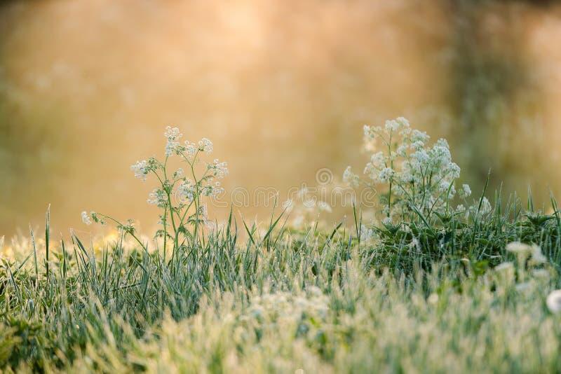 La flor hermosa con el flor blanco en la hierba detr?s se encendi? por la luz y la niebla de oro del sol de la ma?ana en el fondo imágenes de archivo libres de regalías