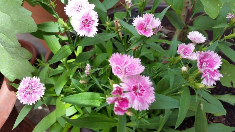 La flor hermosa del clavo en jardín fotografía de archivo