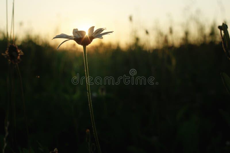 La flor hermosa en la puesta del sol, sol de la margarita irradia en prado del verano en fotografía de archivo