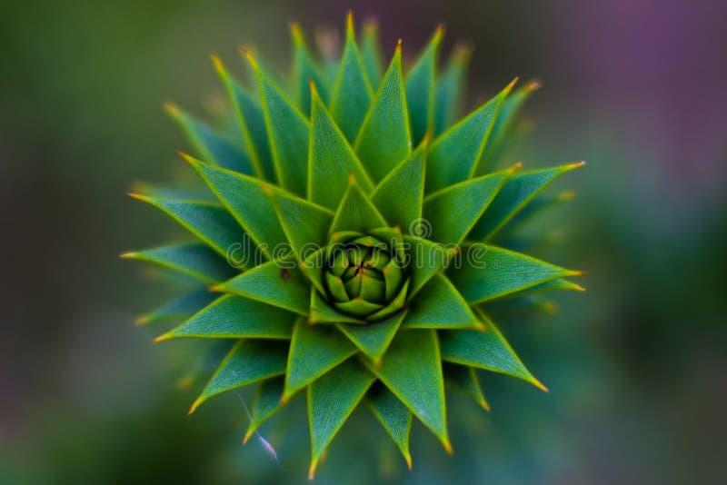 La flor melenuda fotos de archivo libres de regalías