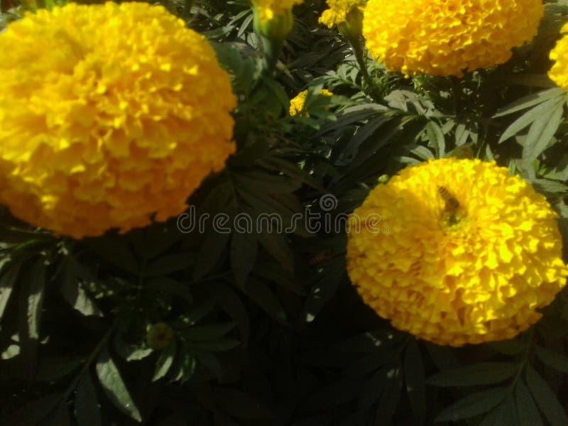 la flor muy bonita en Bangladesh gerden foto de archivo