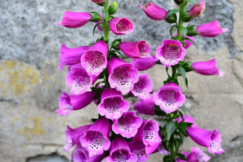 La flor púrpura de la dedalera en el jardín imagen de archivo libre de regalías