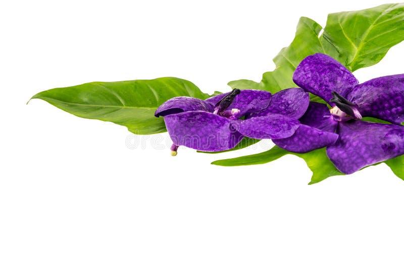 La flor púrpura de la orquídea, la orquídea violeta con la hoja verde aisló o foto de archivo libre de regalías