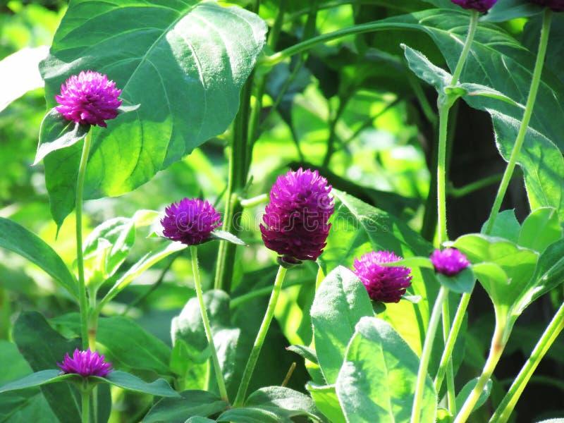 La flor púrpura del amaranto de globo florece en la plena floración en árbol con fotografía de archivo