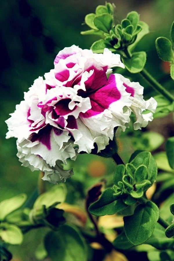 La Flor Púrpura Hermosa De La Petunia Con Los Pétalos Blancos Afila ...