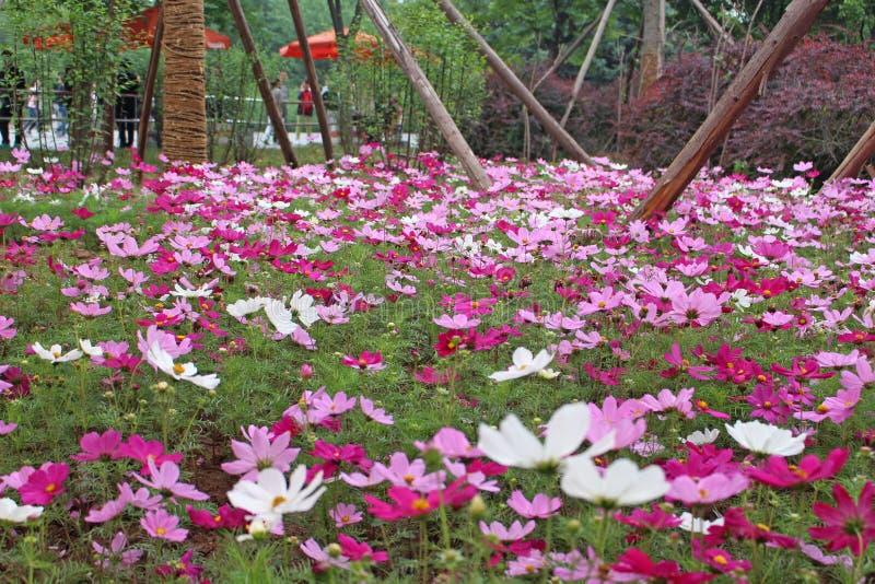 La flor roja blanca y del storng rosada que vive junta en la flor graden en China foto de archivo libre de regalías
