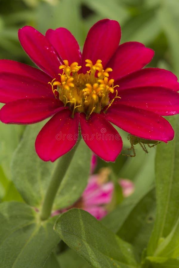 La flor roja de Borgoña imagen de archivo libre de regalías