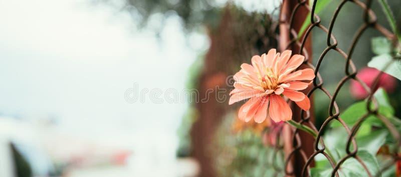 La flor roja est? creciendo a trav?s de una cerca fronteras de la traves?a fotografía de archivo libre de regalías