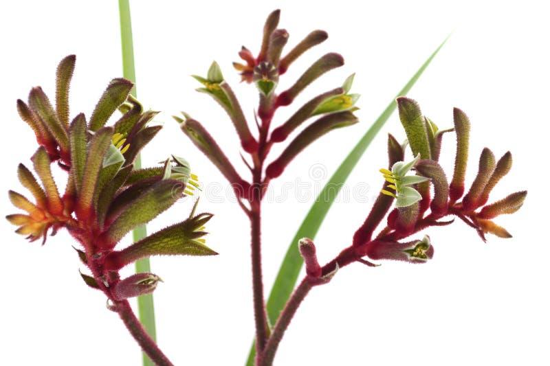 La flor roja y verde australiana occidental del canguro imagen de archivo
