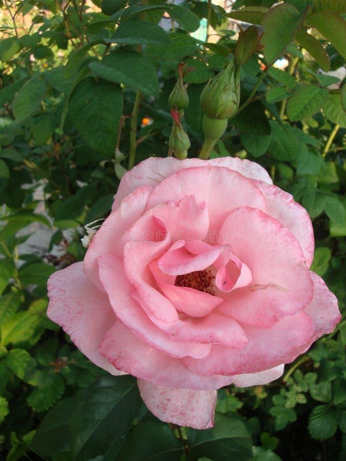 La flor rosa clara del deslumbramiento incorpora el alma de la luz, de la admiración y de la adoración bendecidas imagen de archivo