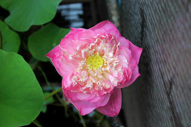 La flor rosada foto de archivo
