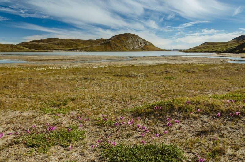 La flor rosada del mono es la única flor que puede sobrevivir condiciones de clima duras por la capa de hielo groenlandesa, Groen foto de archivo libre de regalías