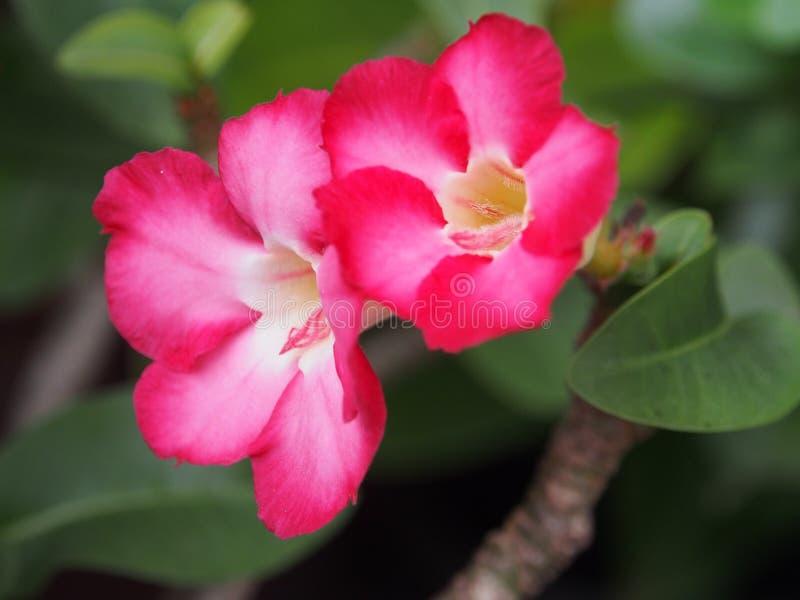 La flor rosada está floreciendo en el jardín foto de archivo