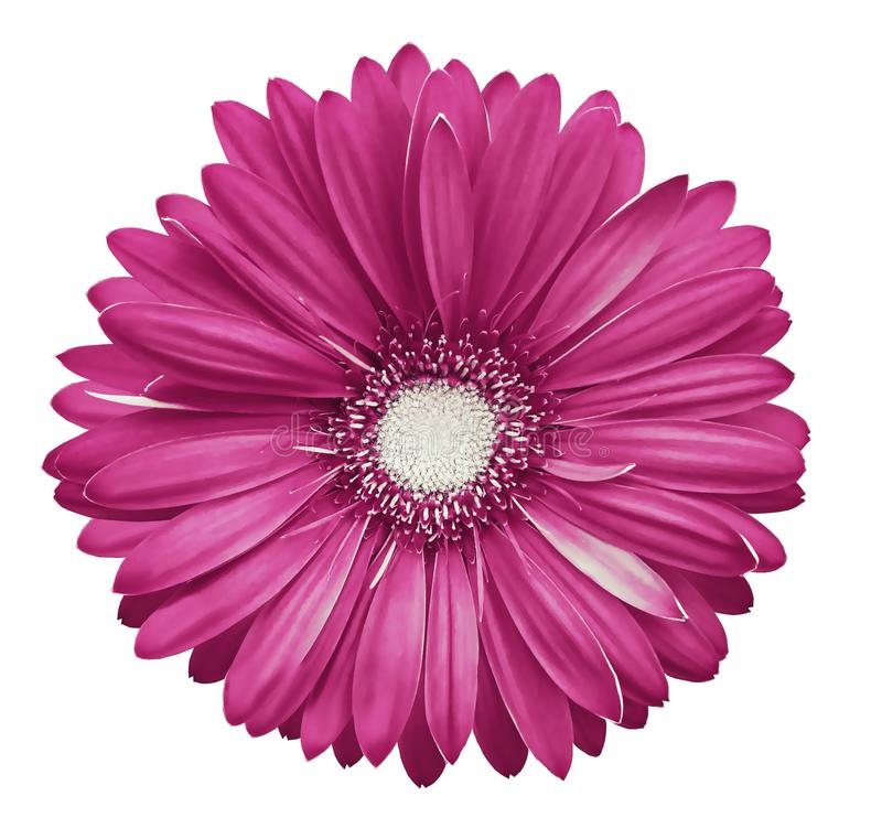 la flor Rosado-blanca del gerbera, blanco aisló el fondo con la trayectoria de recortes primer Ningunas sombras Para el diseño fotos de archivo libres de regalías