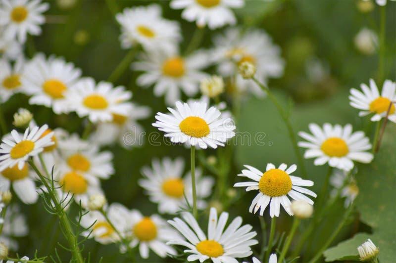 La flor salvaje de la margarita fotos de archivo