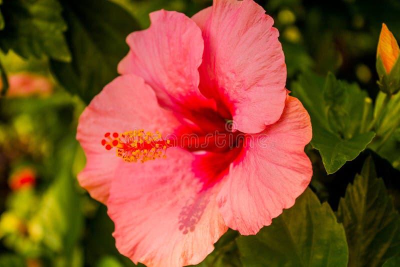 La flor se levantó fotos de archivo libres de regalías