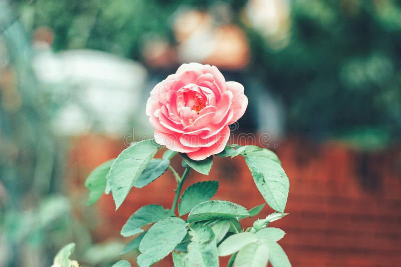 La flor se levantó imágenes de archivo libres de regalías