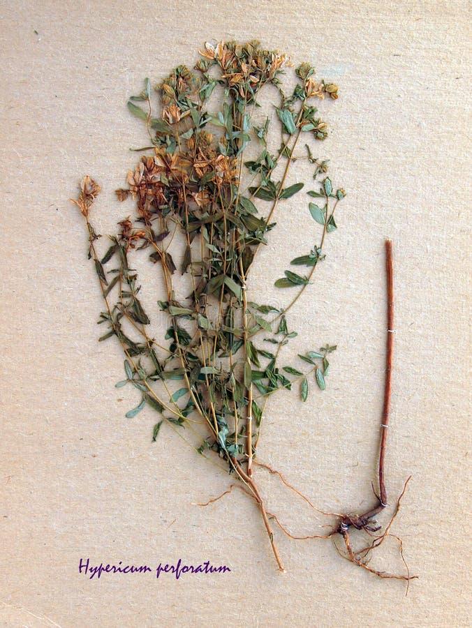 La flor secada de perfora el s-mosto del ` de St John fotos de archivo libres de regalías