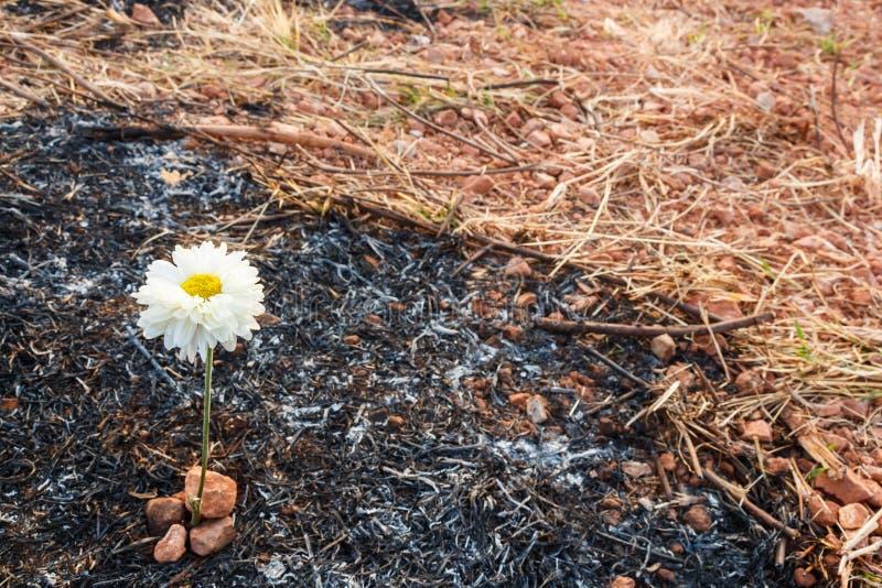 La flor sobrevive en la ceniza de la hierba quemada imágenes de archivo libres de regalías