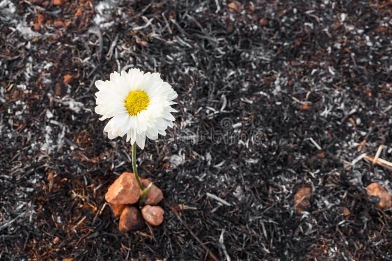 La flor sobrevive en la ceniza de la hierba quemada fotografía de archivo libre de regalías
