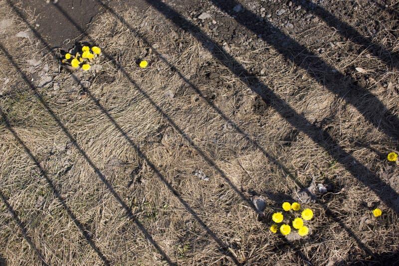 La flor soleada de la primera primavera en Europa del Norte, s?mbolo del sol Planta medicinal del farfara del Tussilago imagenes de archivo