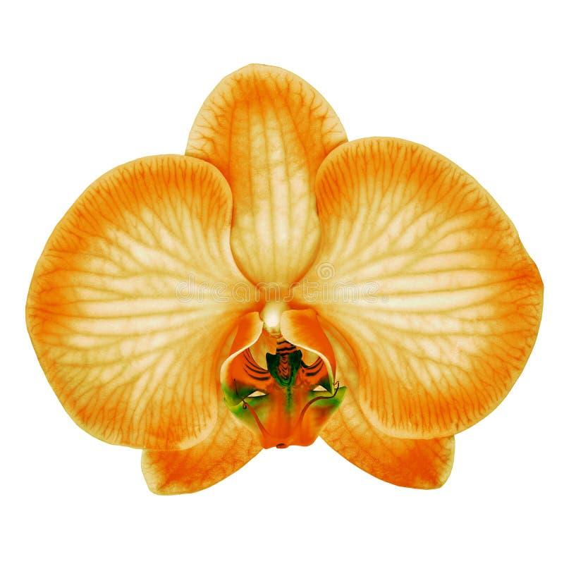 La flor verde anaranjada de la orquídea aisló el fondo blanco con la trayectoria de recortes Primer del brote de flor imagen de archivo