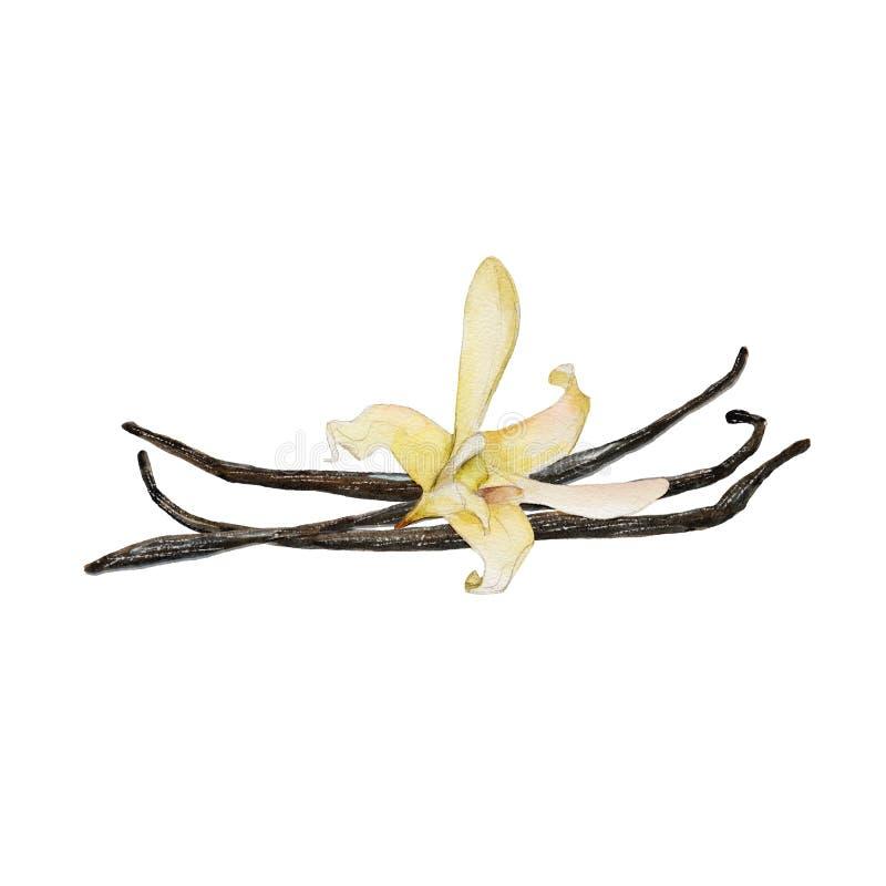 La flor y las habas de la vainilla del primer aisladas en el fondo blanco, ejemplo de la acuarela stock de ilustración