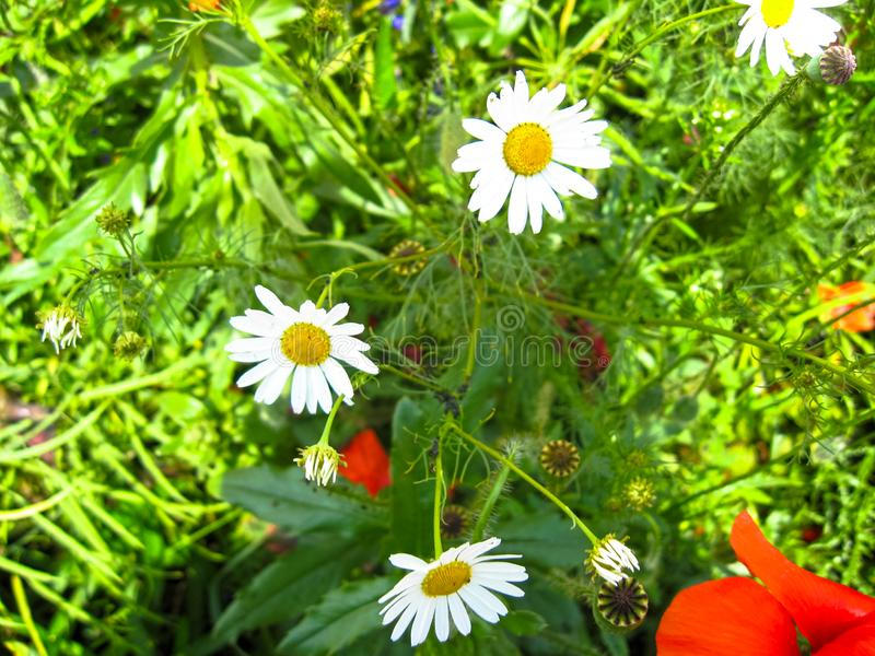 La floración blanda de los perennis del Bellis de las margaritas en día soleado Cierre de la flor del verano para arriba Foco sel fotografía de archivo libre de regalías