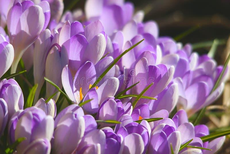 La floración de crucuses florece el sol temprano de la primavera foto de archivo libre de regalías