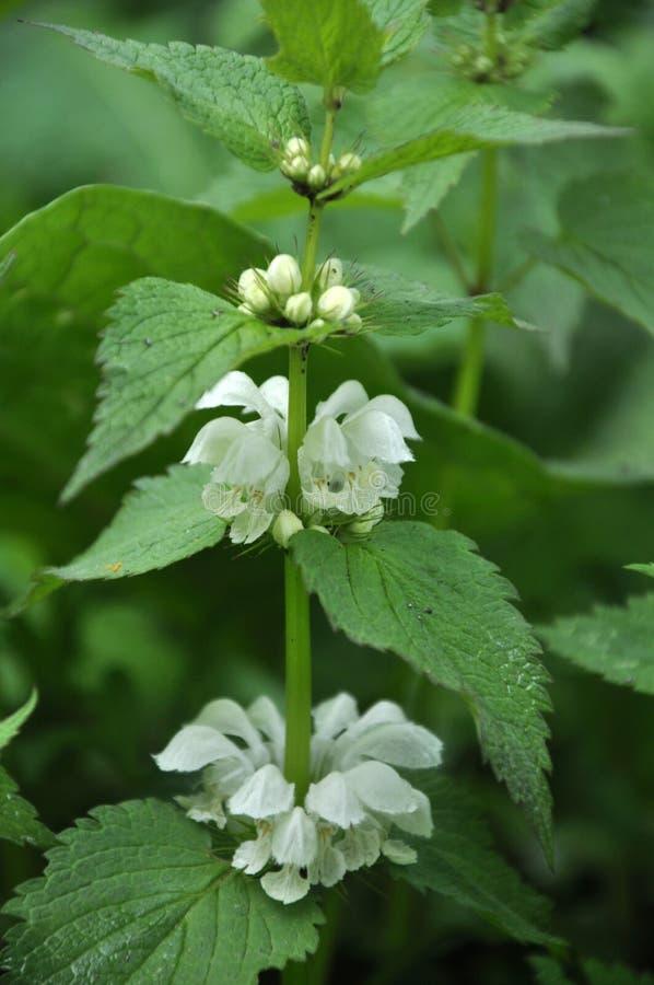 La floración en naturaleza las ortigas es álbum sordo del Lamium fotografía de archivo libre de regalías