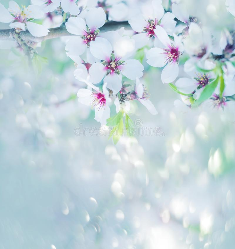 La floración enorme de las flores blancas del árbol de almendra en el jardín imágenes de archivo libres de regalías