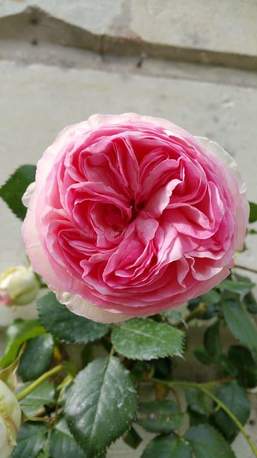 La floración redondeada de solo subir rosado de Rosa subió imagen de archivo libre de regalías