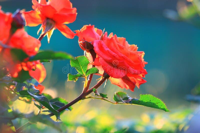 La floraison de ressort a monté photographie stock