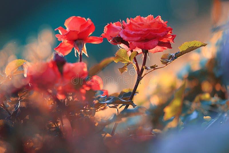 La floraison de ressort a monté image libre de droits