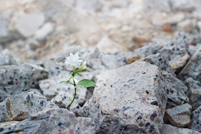 La floricultura bianca sulle crepe rovina il concetto della costruzione, di speranza e di fede, fuoco molle fotografia stock libera da diritti