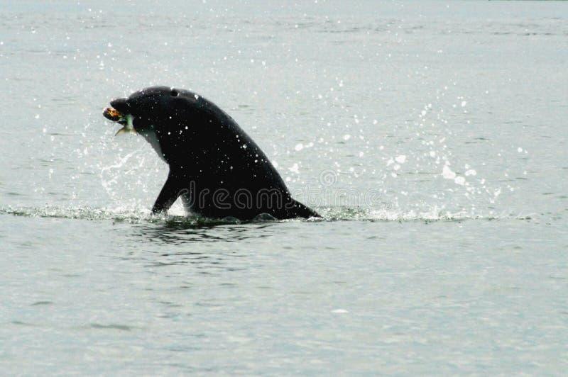 La Floride se ferment du dauphin sauvage avec des poissons dans la bouche image stock
